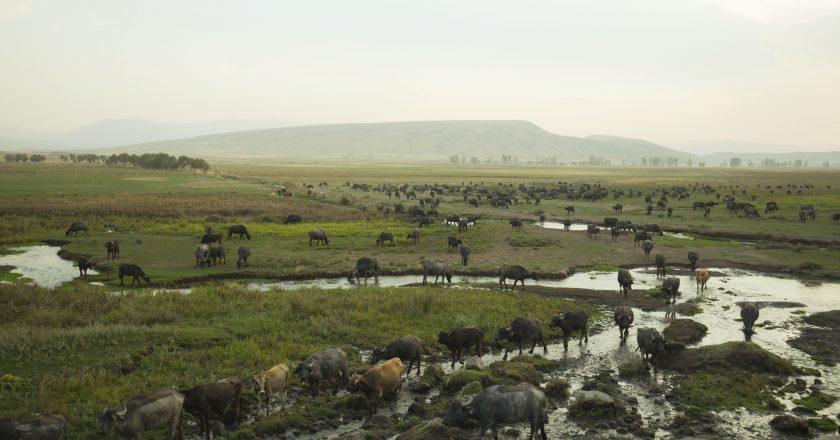 Şarbon Korkusu: Hayvancılık ve Bakterinin Toplumsallığı Üzerine